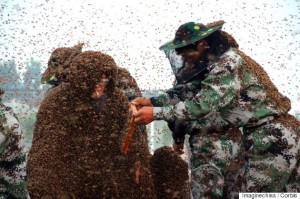 25 May 2015, Shandong Province, China --- An assistant dumps bees on the bee-covered body of Chinese beekeeper Gao Bingguo as he challenges to set a new Guinness World Record in Liangzhuang town, Tai'an city, east China's Shandong province, 25 May 2015. A Chinese beekeeper set a new Guinness World Record after being covered in a massive 109.05kg of bees. Gao Bingguo, 55, is no stranger to bees having kept them for over 35 years, but having several hundred thousand of them piled on top of you is something that not even Bingguo could truly prepare for. Organizers began the record attempt on early Monday (25 May 2015) morning by placing a number of queen bees on to his body which would help to attract the worker bees. Boxes of bees were later dumped at his feet in increasingly large quantities, slowly crawling up and on to his body. By the end of the attempt Bingguo had about 1.09 million of the insects whi --- Image by © Imaginechina/Corbis